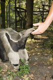 Giant anteater (Myrmecophaga tridactyla). A giant anteater with its keeper stock photos