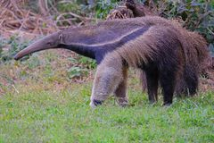 Giant Anteater, Myrmecophaga Tridactyla, also known as the Ant Bear, Matto Grosso Do Sul, Pantanal, Brazil. South America royalty free stock images