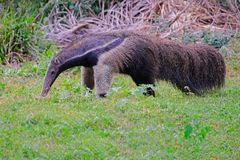 Giant Anteater, Myrmecophaga Tridactyla, also known as the Ant Bear, Matto Grosso Do Sul, Pantanal, Brazil. South America stock image