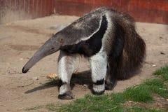 Giant anteater (Myrmecophaga tridactyla). Giant anteater (Myrmecophaga tridactyla), also known as the ant bear. Wild life animal royalty free stock image