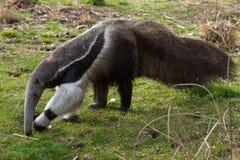 Giant anteater (Myrmecophaga tridactyla). Stock Photos