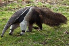 Giant anteater (Myrmecophaga tridactyla). Giant anteater (Myrmecophaga tridactyla), also known as the ant bear. Wild life animal royalty free stock photos