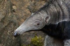 Giant anteater (Myrmecophaga tridactyla). Stock Images