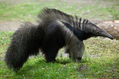 Giant anteater (Myrmecophaga tridactyla). Giant anteater (Myrmecophaga tridactyla), also known as the ant bear. Wildlife animal stock photography