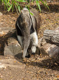 Giant anteater, Myrmecophaga tridactyla, or ant bear. Royalty Free Stock Photo