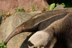 Giant anteater Myrmecophaga tridactyla. Beautiful picture of giant anteater Myrmecophaga tridactyla in nature stock image