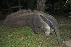 Giant anteater (Myrmecophaga tridactyla).  Royalty Free Stock Photo