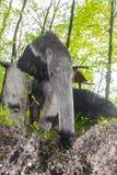 Giant anteater (Myrmecophaga tridactyla) eats ants Stock Images