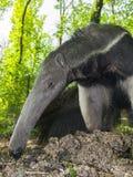 Giant anteater (Myrmecophaga tridactyla) eats ants Royalty Free Stock Photography