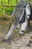 Giant anteater (Myrmecophaga tridactyla) eats ants Royalty Free Stock Photo