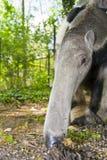 Giant anteater (Myrmecophaga tridactyla) eats ants Royalty Free Stock Image