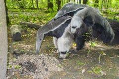 Giant anteater (Myrmecophaga tridactyla) eats ants. A giant anteater (Myrmecophaga tridactyla) is eating ants royalty free stock image