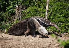 Giant anteater (Myrmecophaga tridactyla). And electric fence Royalty Free Stock Image