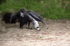 Giant anteater, Myrmecophaga tridactyla, female with a baby on her back. The Giant anteater, Myrmecophaga tridactyla, female with a baby on her back Stock Photography