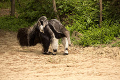 Giant anteater, Myrmecophaga tridactyla, female with a baby on her back. The Giant anteater, Myrmecophaga tridactyla, female with a baby on her back Stock Photos