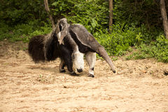 Giant anteater, Myrmecophaga tridactyla, female with a baby on her back. The Giant anteater, Myrmecophaga tridactyla, female with a baby on her back Stock Images