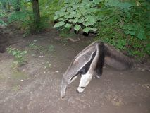 Giant Anteater Myrmecophaga tridactyla in forest. Giant Anteater Myrmecophaga tridactyla walking in forest royalty free stock image