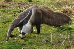 Giant anteater Myrmecophaga tridactyla. Also known as the ant bear royalty free stock photo