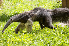 Giant anteater, Myrmecophaga tridactyla, inhabits the llanos, feeds mainly termites Stock Photography