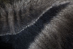Giant anteater (Myrmecophaga tridactyla). Skin texture. Giant anteater (Myrmecophaga tridactyla), also known as the ant bear. Skin texture. Wildlife animal Stock Photography