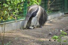 Giant anteater, or Myrmecophaga tridactyla Stock Photography