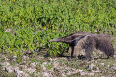 Giant Anteater Pausing to Sniff Amongst Anthills Stock Images