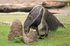 Giant anteater Stock Photo