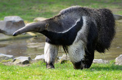 Giant Anteater walking on grass stock image