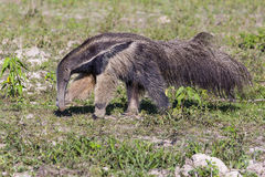 Giant anteater Wiping Ants of Nose with Claw Stock Images