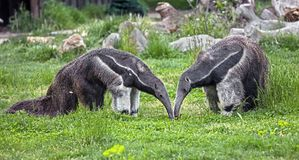 Giant anteaters 1 Stock Images