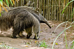 Giant anteatter Royalty Free Stock Photo