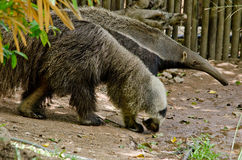 Giant anteatter Royalty Free Stock Photos
