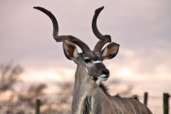 Giant antelope Royalty Free Stock Images