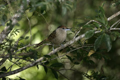 Giant antshrike,  Batara cinerea, Royalty Free Stock Photos