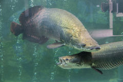 Giant Arapaima. Fish swimming in an aquarium Stock Photography