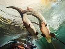 VIENNA, AUSTRIA - SEPTEMBER 8, 2017. Giant Arapaima fish swimming in an aquarium at Vienna Schonbrunn Palace Zoo. Giant Arapaima fish swimming in an aquarium at Stock Photography