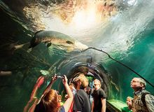VIENNA, AUSTRIA - SEPTEMBER 8, 2017. Giant Arapaima fish swimming in an aquarium at Vienna Schonbrunn Palace Zoo Royalty Free Stock Image