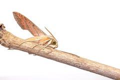 Giant Arum hawk moth Royalty Free Stock Photography