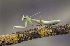 Giant Asian Mantis,  against a muted brown background. Stock Photography