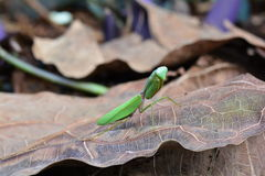 Giant Asian mantis aka Hierodula heteroptera. Stock Image