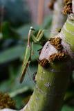 Giant Asian mantis aka Hierodula heteroptera. Royalty Free Stock Photos
