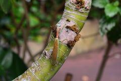 Giant Asian mantis aka Hierodula heteroptera. Royalty Free Stock Image