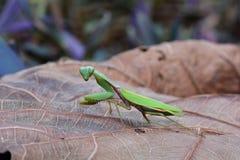 Giant Asian mantis aka Hierodula heteroptera. Stock Images