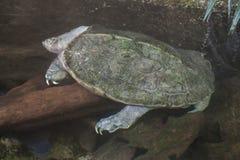 Giant Asian pond turtle Heosemys grandis Stock Photos