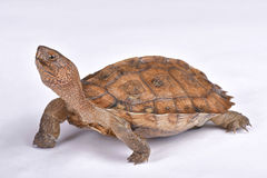 Giant Asian pond turtle, Heosemys grandis. The Giant Asian pond turtle, Heosemys grandis, is a highly endangered turtle species endemic to Vietnam and Cambodia Stock Image