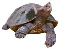 Giant asian pond turtle Royalty Free Stock Image