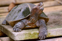 Giant asian pond turtle Royalty Free Stock Photography