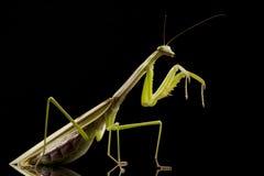 Giant Asian Praying Mantis Royalty Free Stock Photography