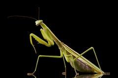 Giant Asian Praying Mantis Royalty Free Stock Photos