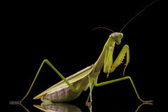 Giant Asian Praying Mantis Royalty Free Stock Images